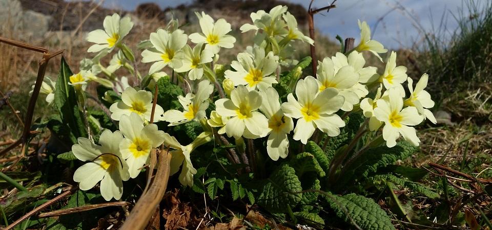 wild-primroses